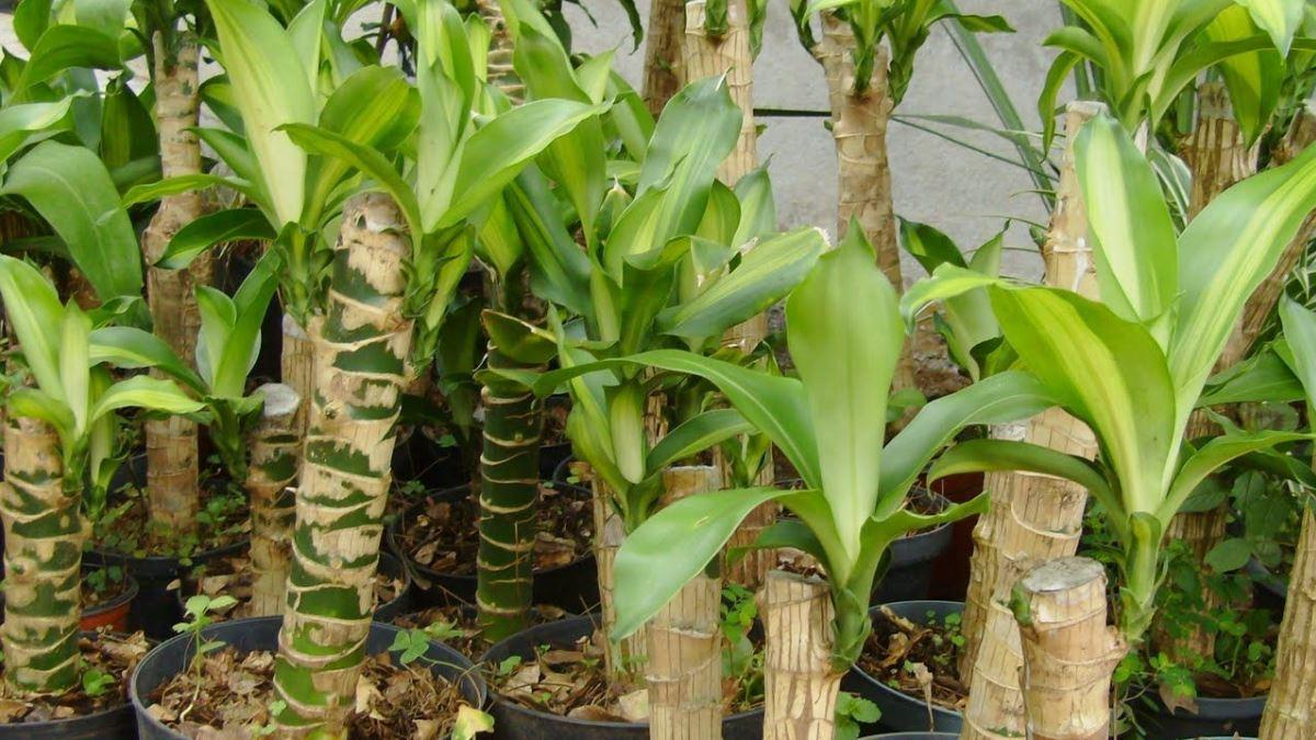 El tronco de Brasil es perfecto para cualquier jardín