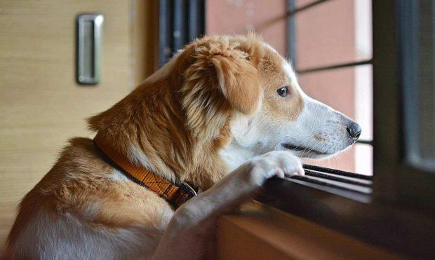 Perro mira por la ventana