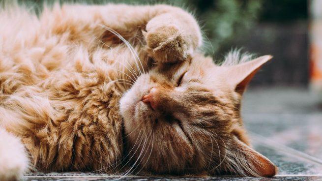 ¿En qué postura duerme tu gato? Esto es lo que significa