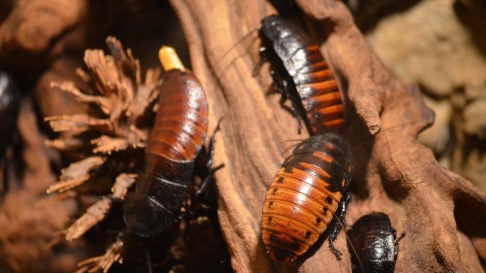 Una plaga de cucarachas puede ser difícil de eliminar