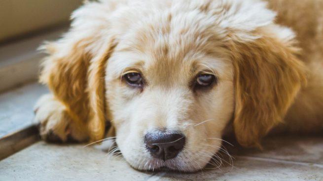 ¿Por qué lloran los perros? 7 posibles causas y cómo actuar