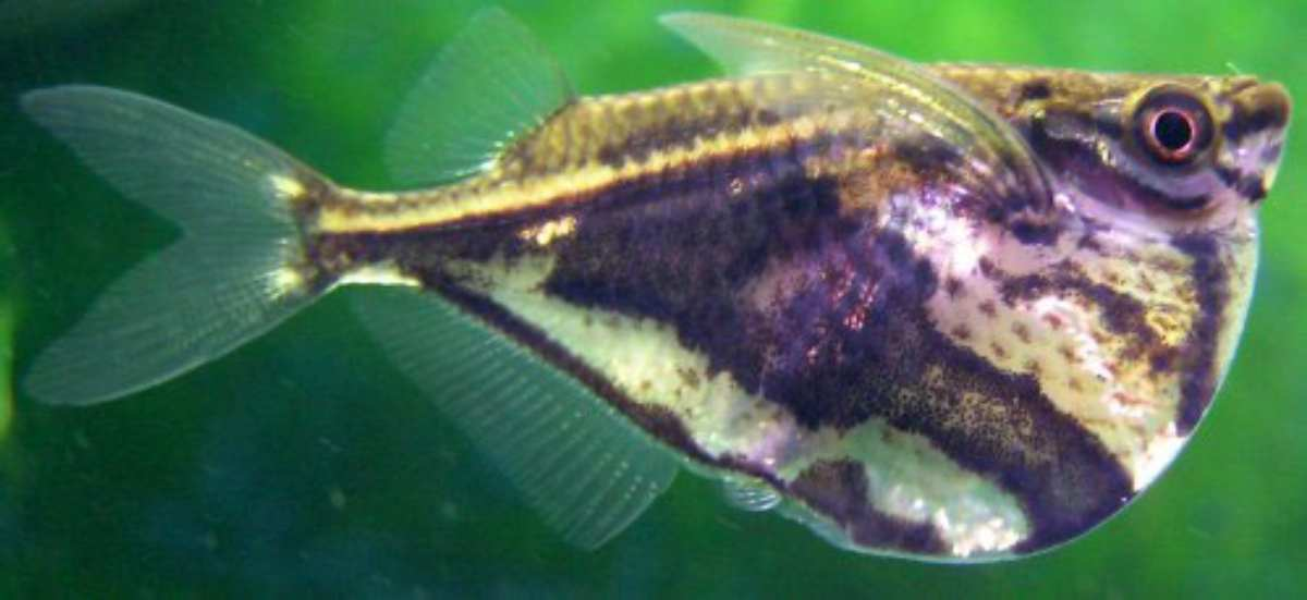 Peces curiosos: pez hacha