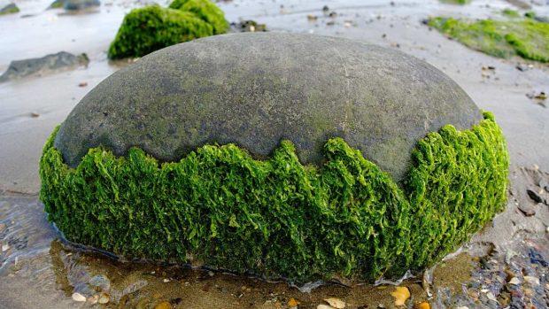 Algas en roca