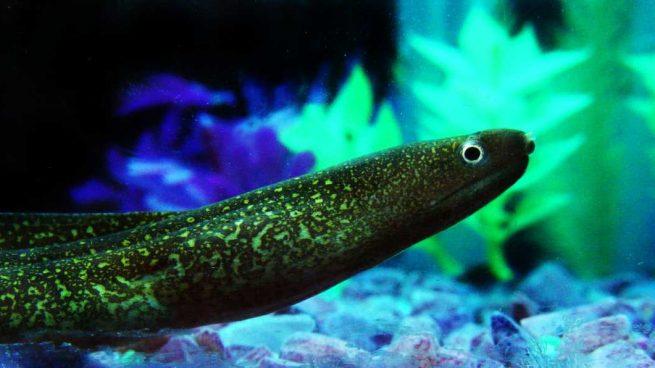 Electricidad anguila