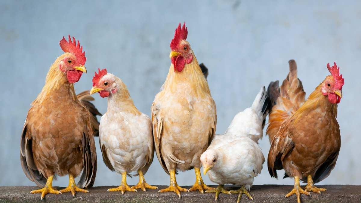 El bienestar de las gallinas