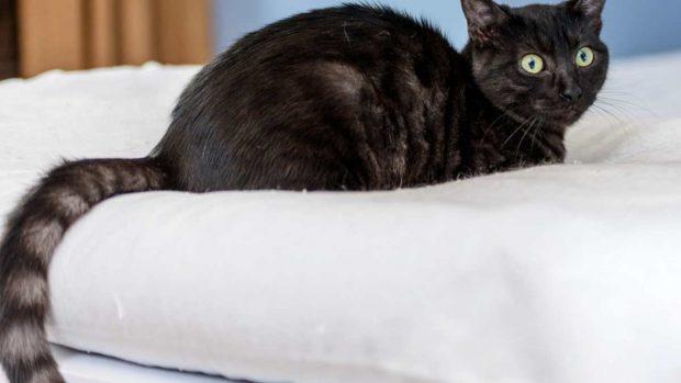 El gato Habana