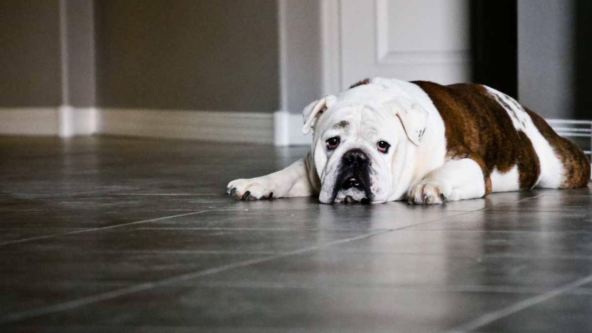 Obesidad en perro