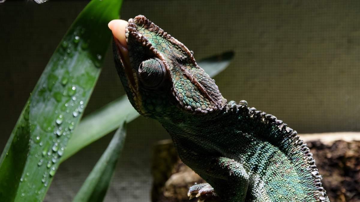 Cuida la salud de tu lagarto