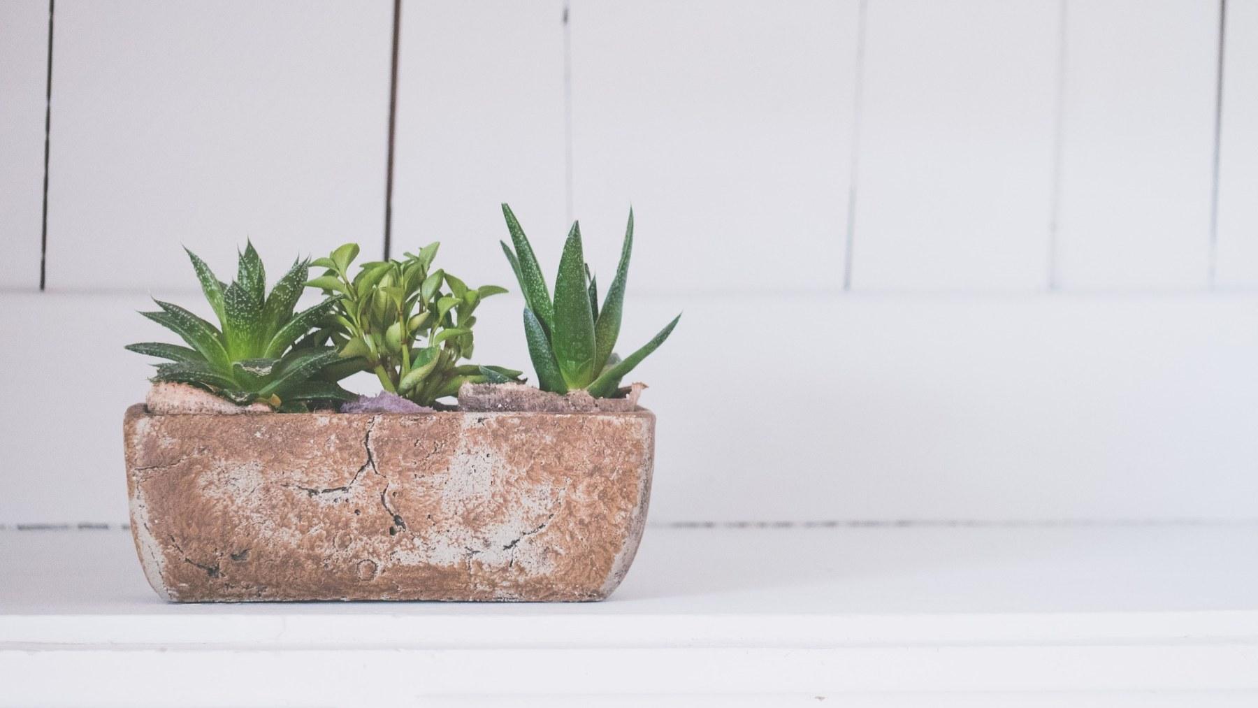 Cuidar planta de aloe vera: los mejores consejos