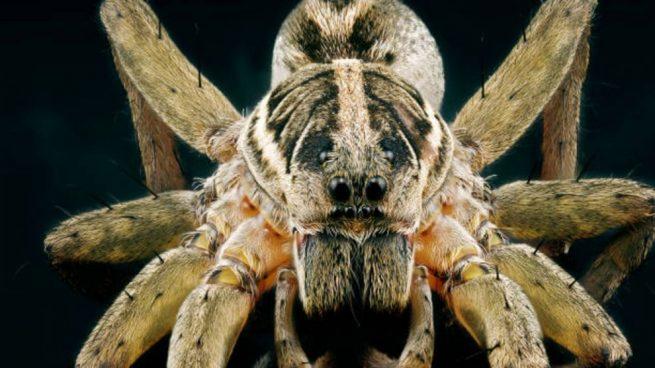Araña lobo: qué es, dónde vive y otras curiosidades