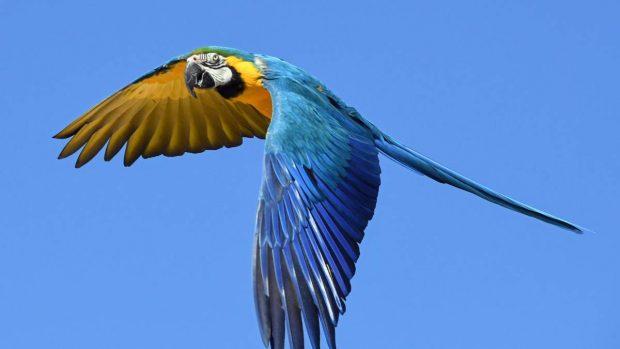 Guacamayo volando