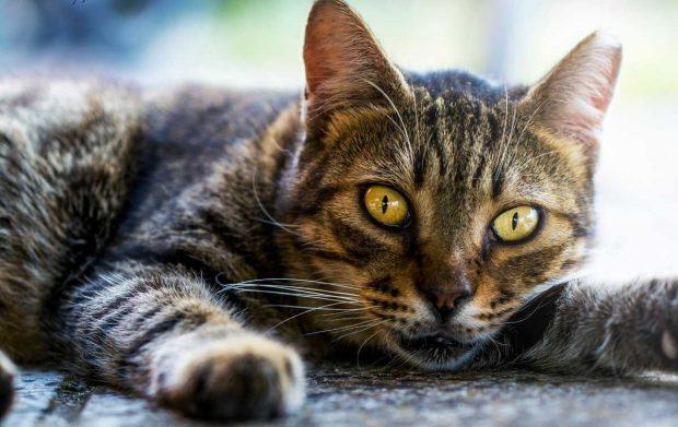 Gato clicker