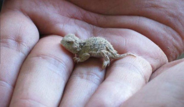 El reptil más pequeño del mundo