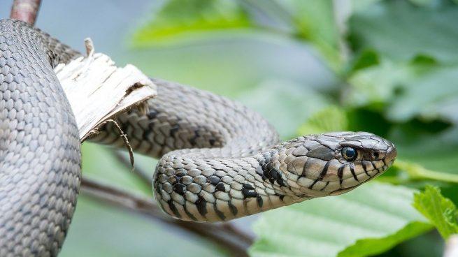 Qué serpientes se pueden tener como mascotas
