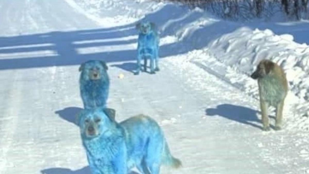 Perros azules Rusia