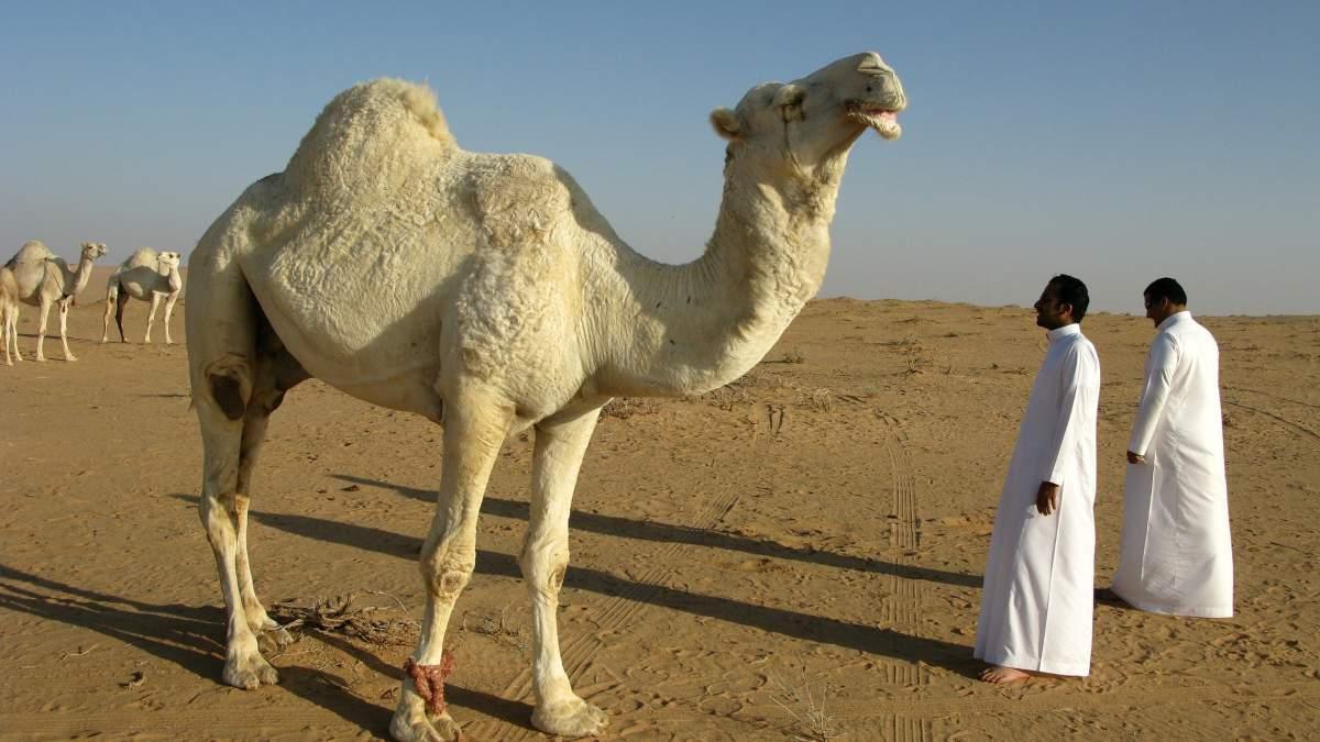 Camellos y dromedarios