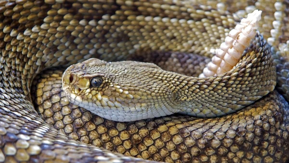 Especies de serpientes venenosas