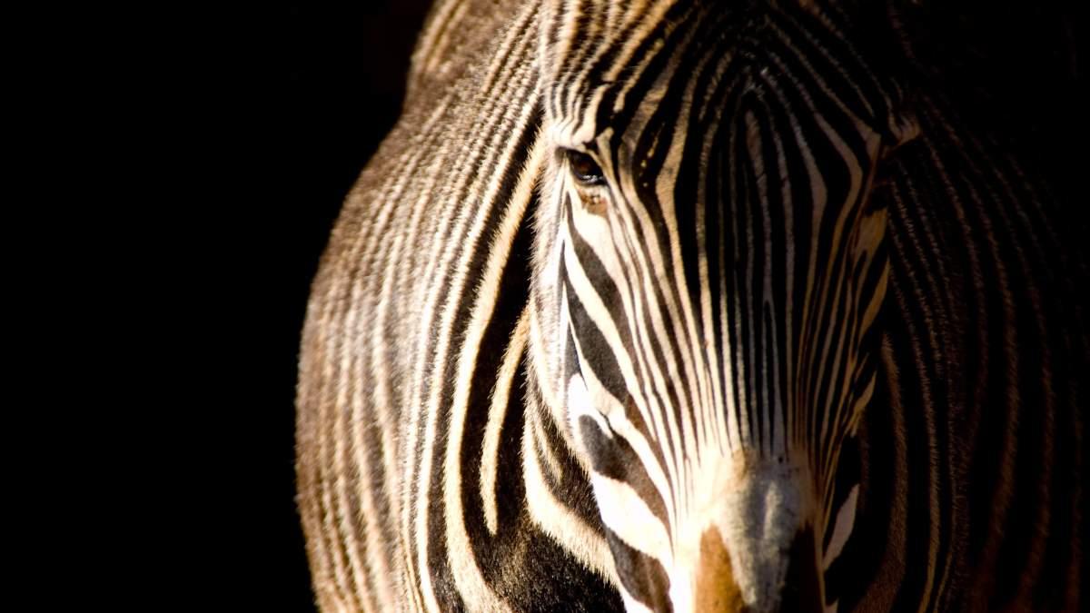 Cebras con rayas extrañas