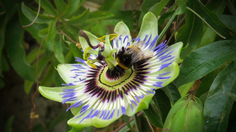 Pasiflora: por qué está planta va a hacer que duermas del tirón