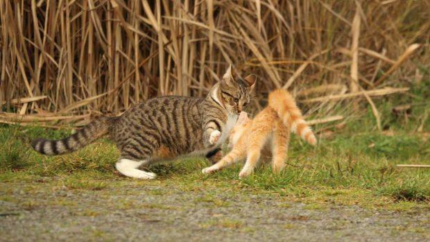 Gatos pelean