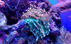 Corales y restauración