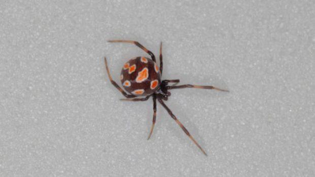arañas más venenosas