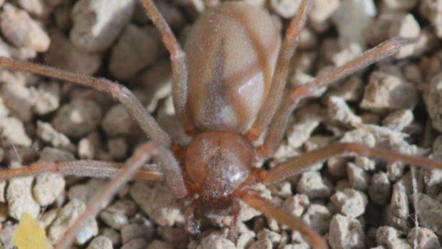 arañas más peligrosas