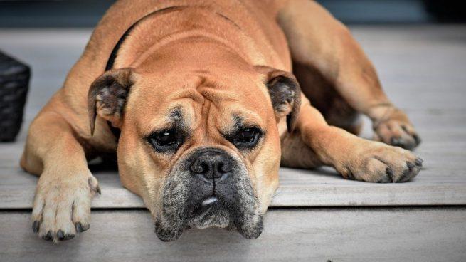 Estos son los principales signos de la vejez en perros