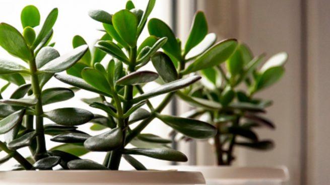 Cómo cuidar la planta de jade