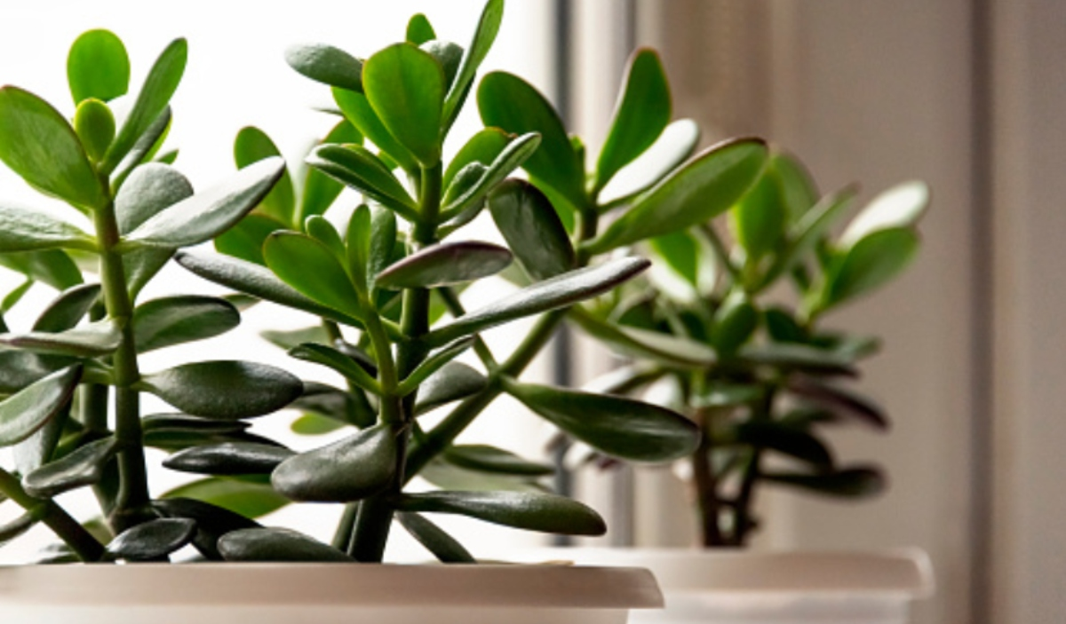 Pasos para cuidar la planta de jade