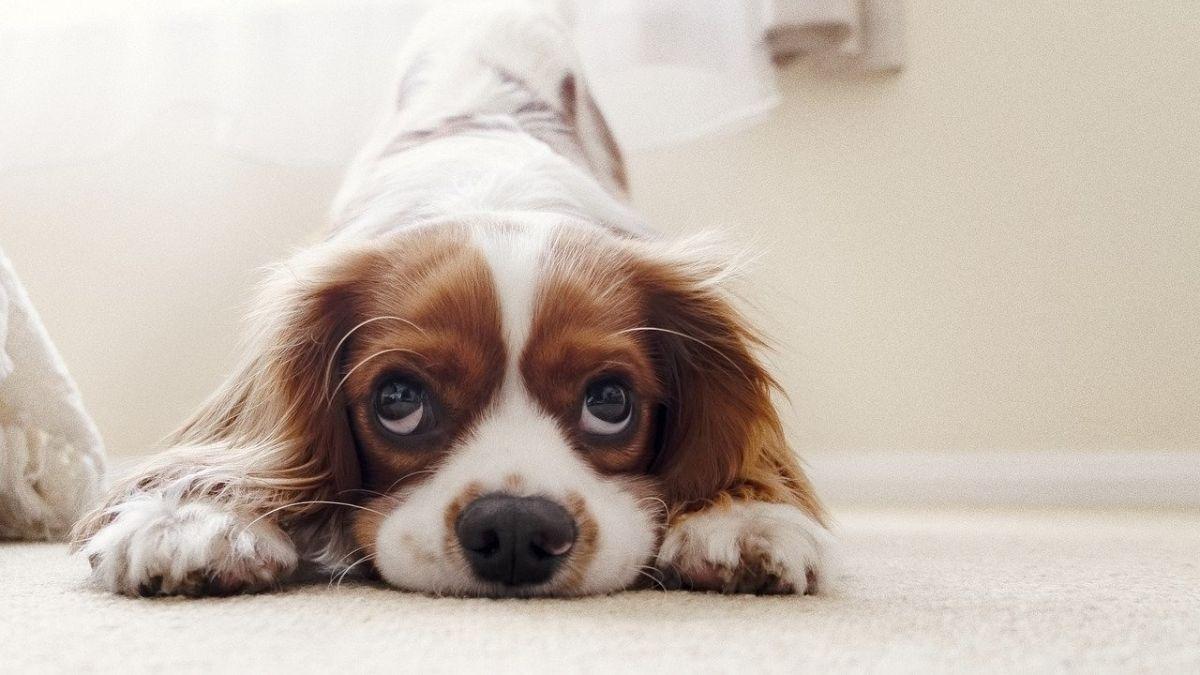 Cómo evitar que el perro ladre cuando está solo