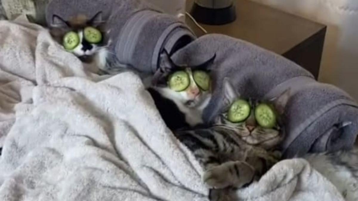 El vídeo de los gatos adictos al spa divide las redes