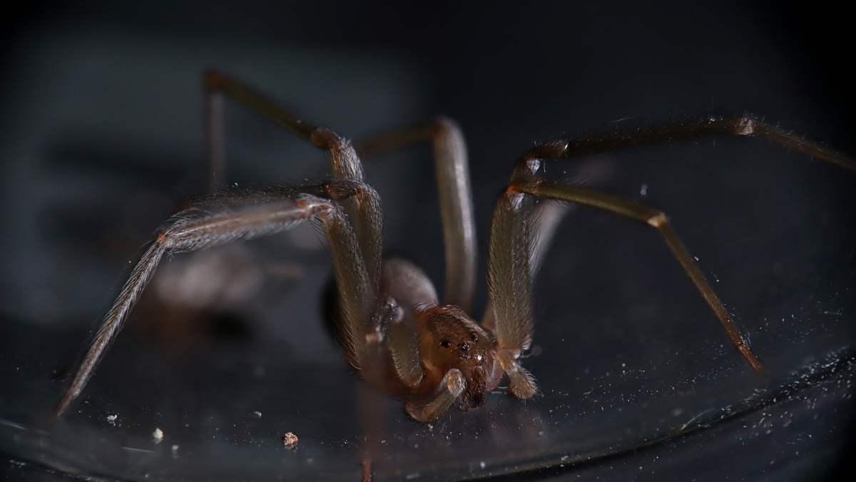 Araña más peligrosa