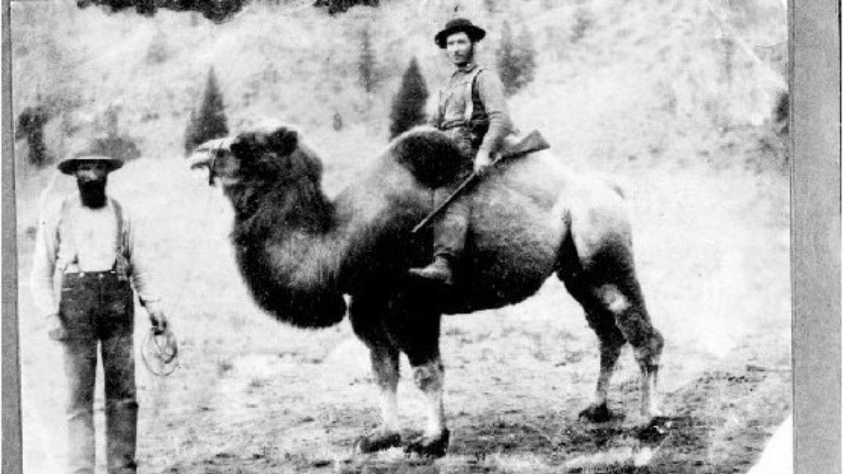 Los camellos de EEUU