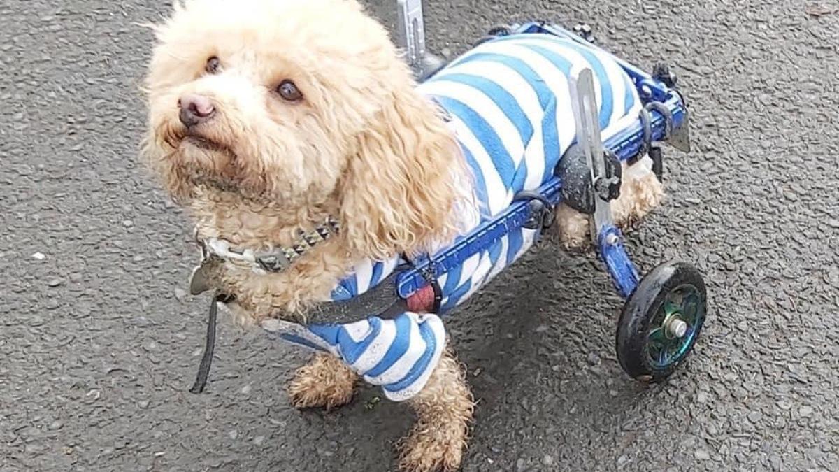 Un perro discapacitado rescatado de un matadero en China se convierte en terapeuta