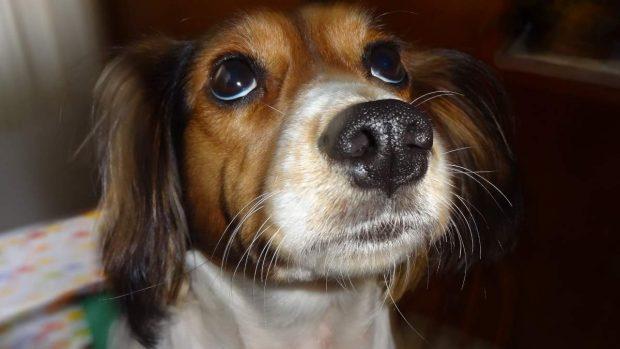 Ojo cereza perro