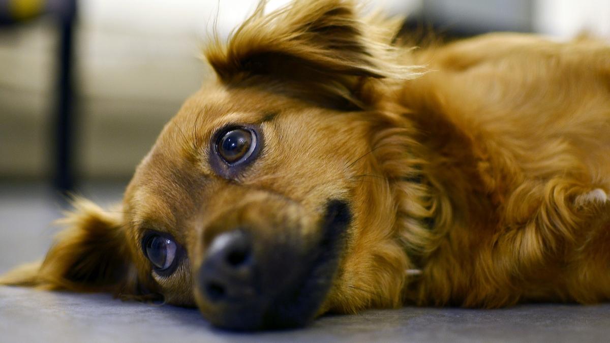 Depresión endogámica en el perro