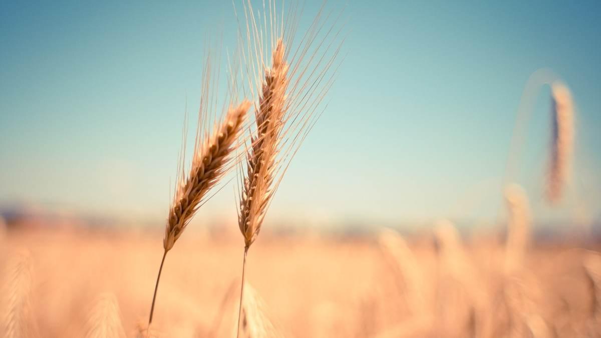 Nitrógeno en el trigo