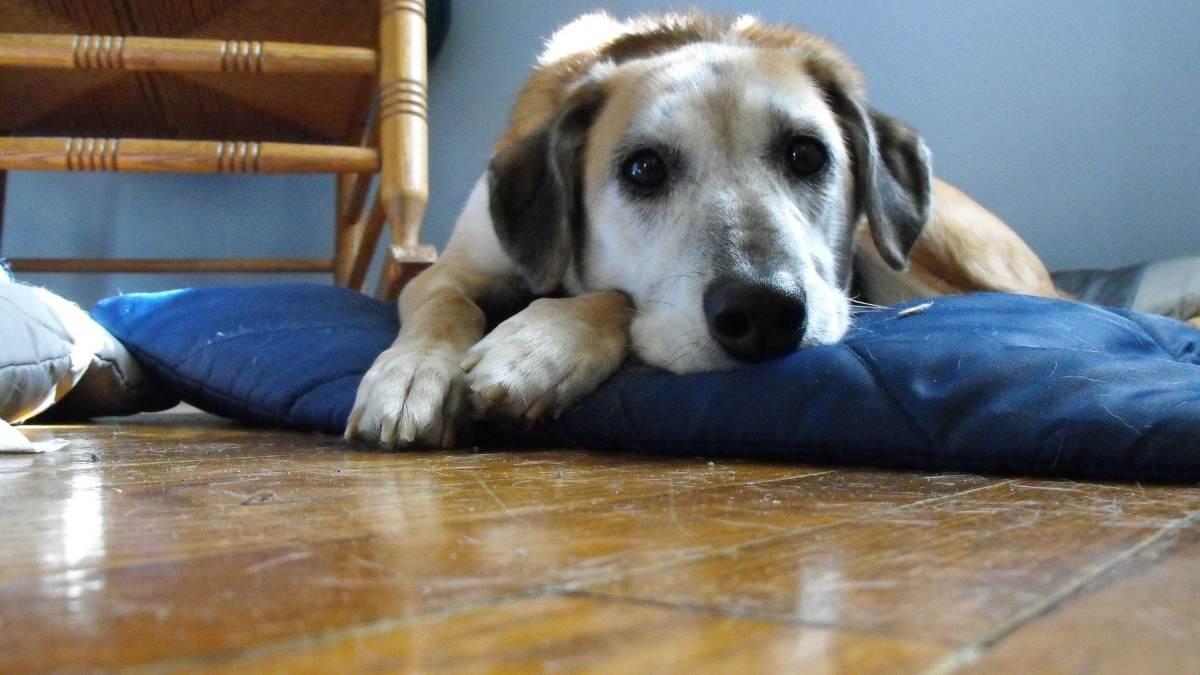 Hernia de hiato en perros