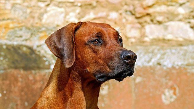 Hepatitis canina síntomas