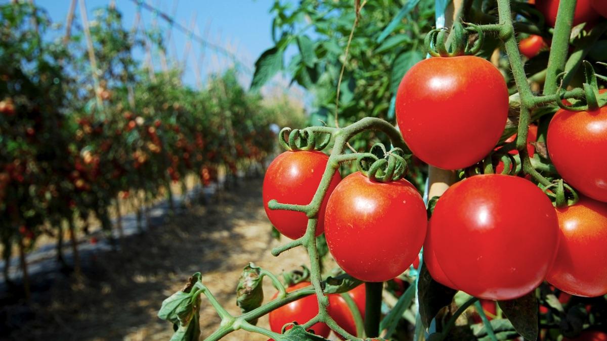 Tomates del sector hortofrutícula.