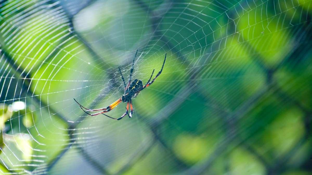 Hay telas de araña más resistentes que el acero