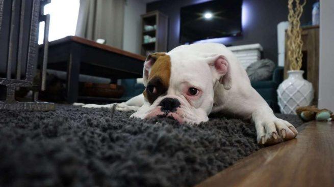 eliminar las manchas de orina de tu mascota