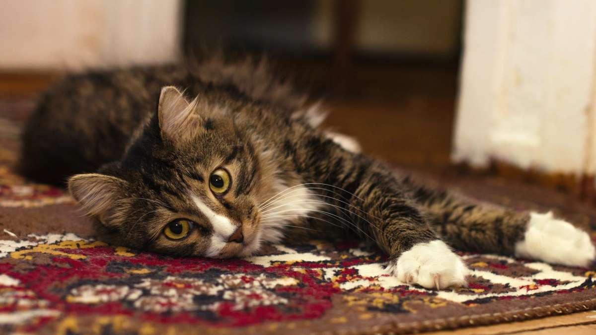 Los gatos suelen soltar mucho pelo en cualquier parte