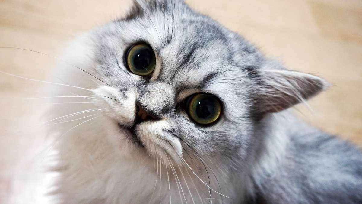 Enfermedades mentales gatos