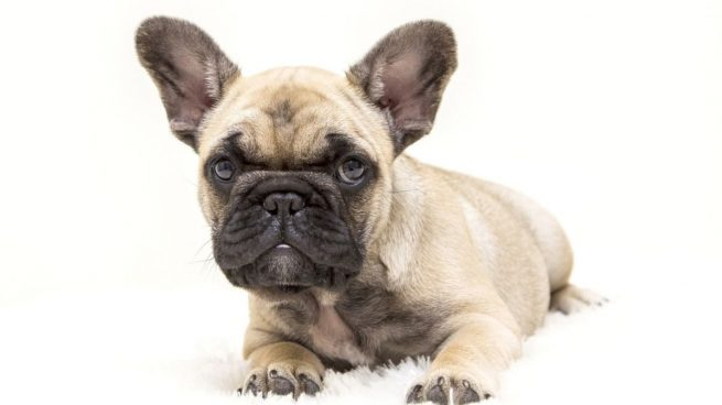 orejas perro