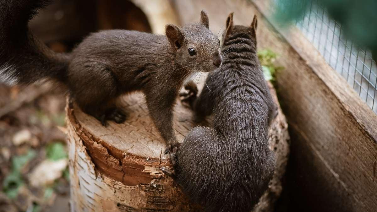 Especies de roedores