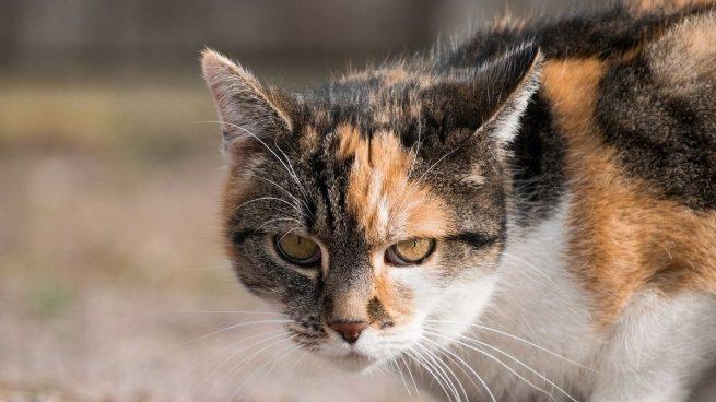 Alzhéimer gato
