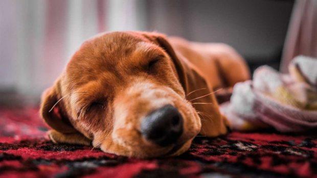 Perro con anestesia