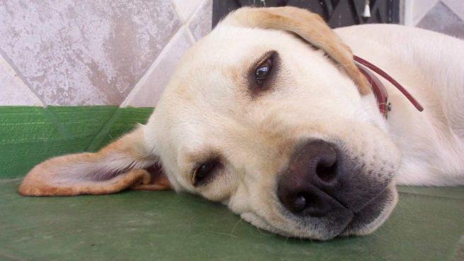 Anestesia para tu perro